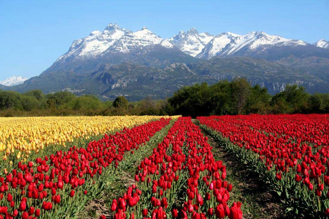 Comenzó la siembra de tulipanes en Trevelin