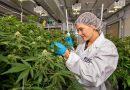 Buscan crear en Chubut un polo de desarrollo de cannabis